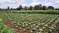 800px-Cabbage_plot,_Kibirichia_area,_Mount_Kenya